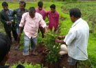 Kaspada - Mango Sapling Distribution